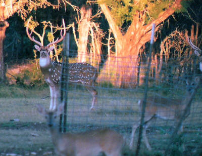 "alt=""Axis buck at the J&R Moellendorf hunting ranch."""